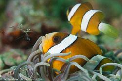 BD-160101-Malapasqua-1860-Amphiprion-clarkii-(Bennett.-1830)-[Yellowtail-clownfish].jpg